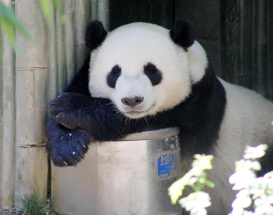 hvad spiser pandaen