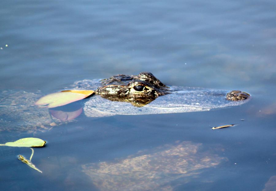 Alligators are common in Florida